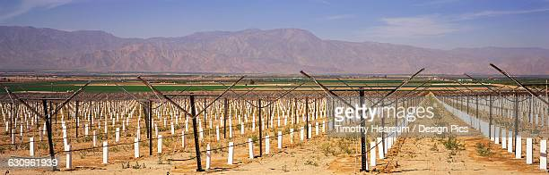 newly planted vineyard staked and with white protective sleeves dominates the foreground, other green fields and mountains beyond, coachella valley - timothy hearsum stock pictures, royalty-free photos & images