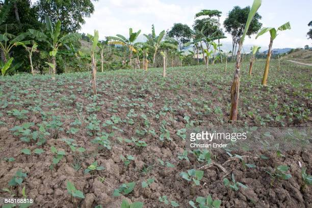 A newly subdued field with young probably coffee seedlings and banana trees can be seen