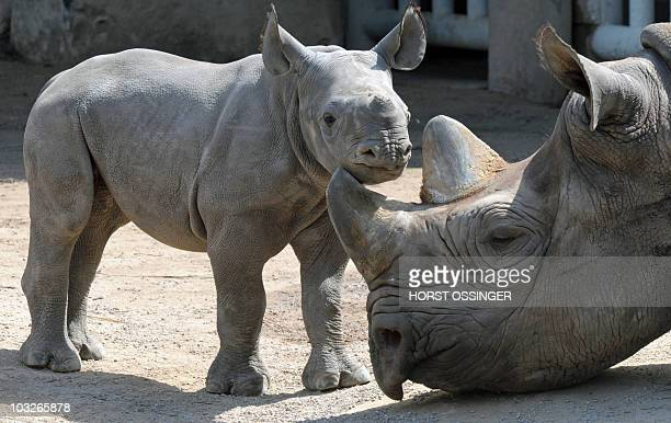 A newlyborn black rhinoceros baby named 'Kiwidi' lays next to its mother 'Nane' at the zoo in the western German city of Krefeld on August 6 2010 The...