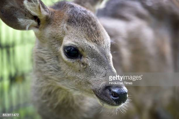 A newlyborn Sambar fawn rejected by its mother has been adopted by Delhi Zoo on August 16 2017 in New Delhi India