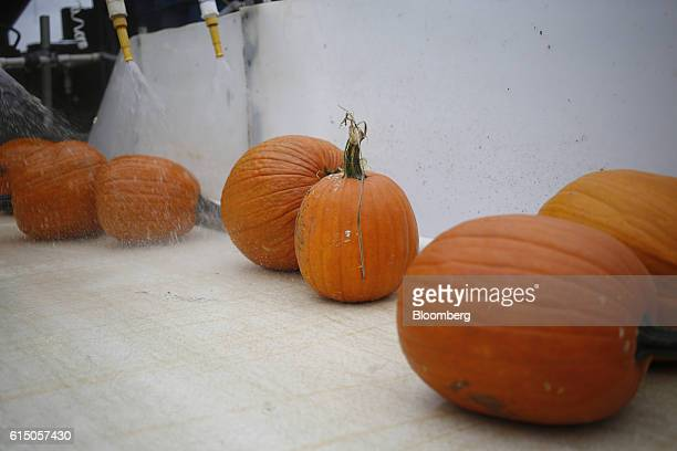 Newlyharvested jacko'lantern pumpkins are washed as they move down a conveyor belt at a Frey Farms Inc processing facility Poseyville Indiana US on...
