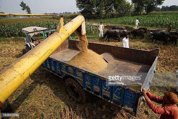 Newlyharvested rice is loaded onto a tractor trolley in a paddy field in the Chiniot district of Punjab province Pakistan on Saturday Oct 13 2012...