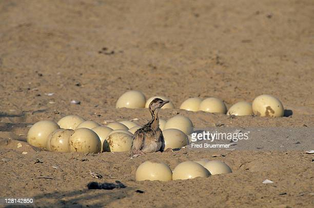 newly-hatched ostrich chick and eggs, struthio camelus - avestruz fotografías e imágenes de stock