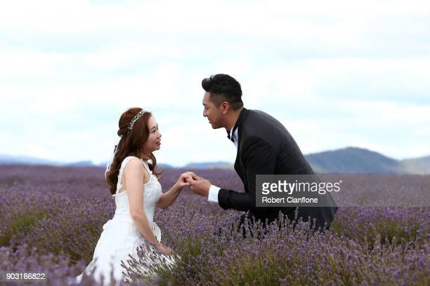 Newlyweds pose for photos at Bridestowe Lavender Estate on January 10 2018 in Launceston Australia The estate runs over 260 acres and is the world's...