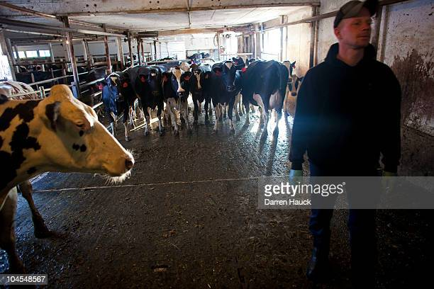 Next generation farmer Rick Roden milks cows early in the morning at the RobNCin farm on September 29 2010 in West Bend Wisconsin The farm has...