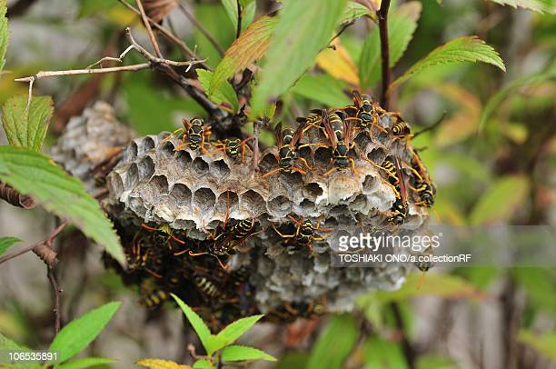 next of paper wasps, chiba prefecture, honshu, japan - paper wasp stock pictures, royalty-free photos & images