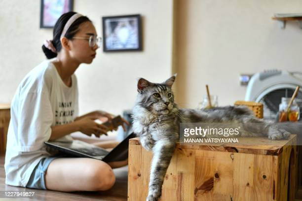 Ngao, a Maine Coon cat sits atop a table at Ngao's Home, a one of its kind cafe and cat rescue place in Hanoi on August 7 ahead of the International...