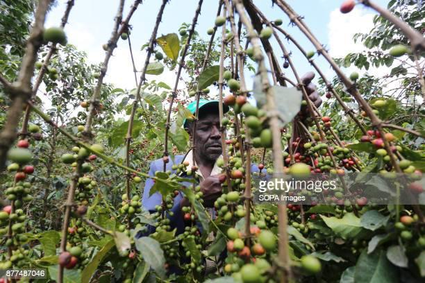 Ngatia Wanjohi a farmer tends his coffee at his farm in Gichathaini village in Nyeri County 125 Kilometers North of Kenyas capital Nairobi Harvesting...