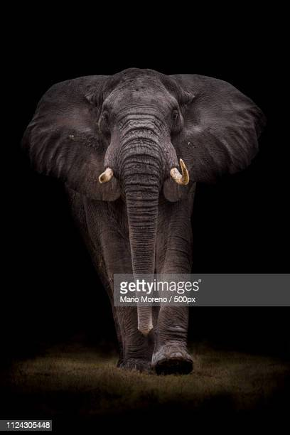 ngorongoro bull - stampeding stock pictures, royalty-free photos & images