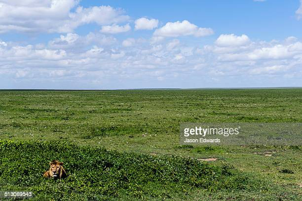 A male African Lion rests among small shrubs on the savannah plain waiting for prey.