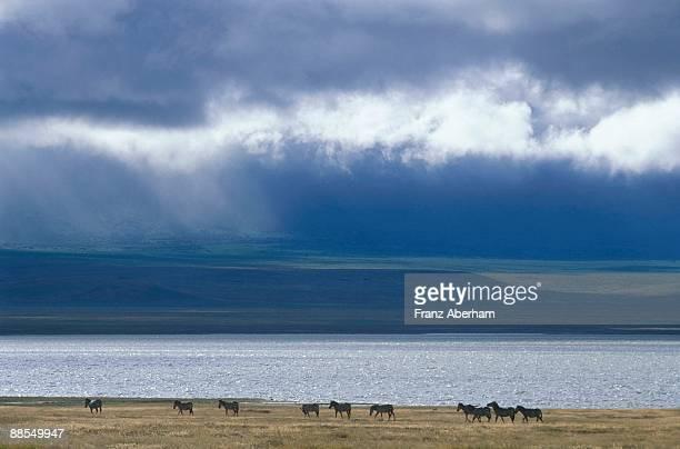 ngorongoro crater lake and zebras, tanzania - rainy season stock pictures, royalty-free photos & images