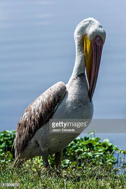 A Great White Pelican preens it's breast feathers with the tip of it's bill.
