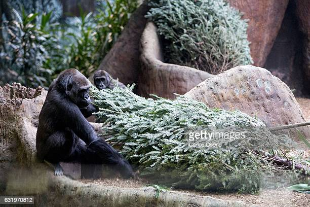 TORONTO ON JANUARY Ngozi checking out the tree Christmas trees that don't get sold are donated to the zoo so they can be used as enrichment for...