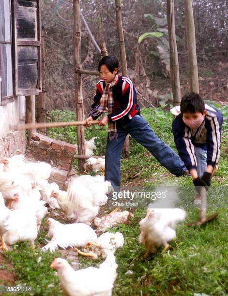 Nguyen Van Thanh 16 and Le Dat 15 slaughter chickens with a stick and a shovel in a chicken farm owned by Dat's mother Truong Thi Thuy 47 Many areas...