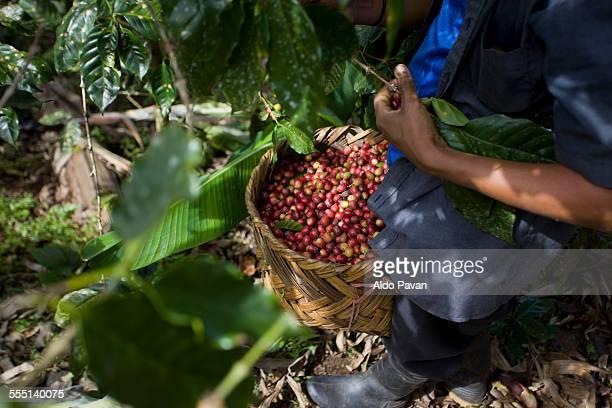 Nicaragua, Pantasma, harvesting coffee