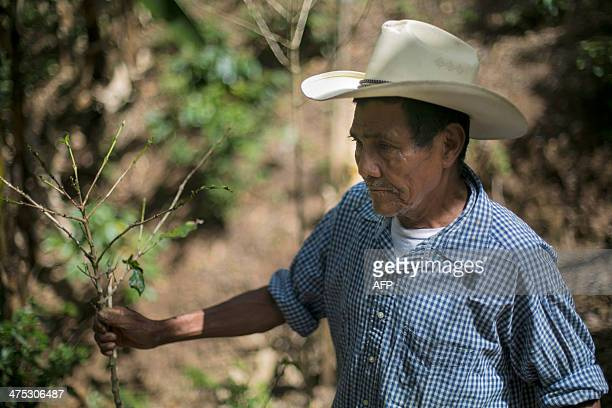 Nicaraguan coffee grower Fidencio Gonzales grabs a rust blighted coffee plant near Somoto 200km from Managua on February 26 2014 The 20132014 coffee...