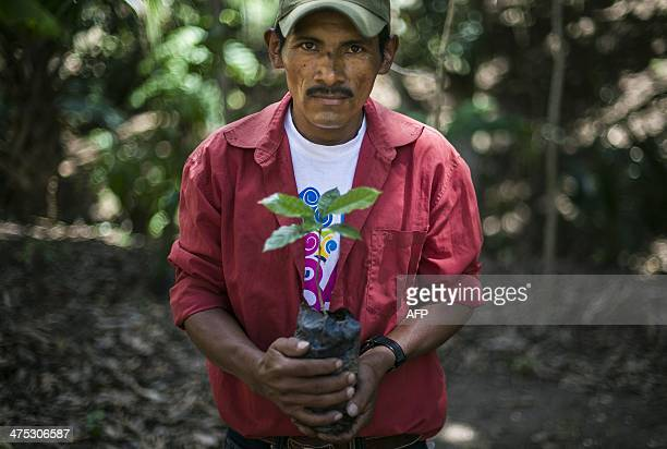 Nicaraguan coffee grower Isacio Lopez shows one of the new coffee plants he will use to replace the rust blighted ones at a plantation near Somoto...