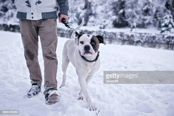 nice day for walk - american bulldog stock photos and pictures
