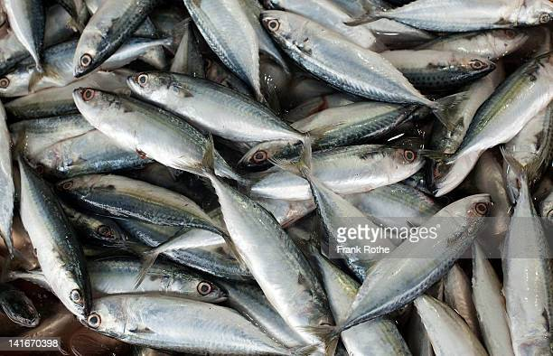 nice looking frehs catched sardines on display