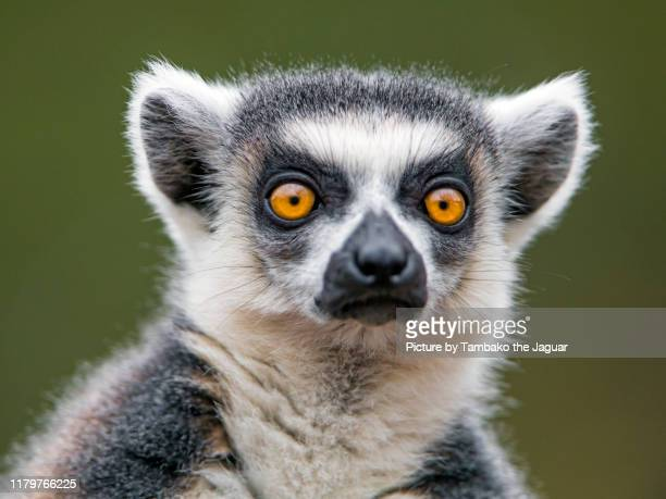 nice portrait of a ring-tailed lemur - lemur stock pictures, royalty-free photos & images