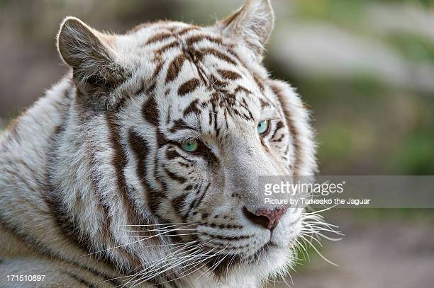 nice portrait of a white tiger - white tiger stock photos and pictures