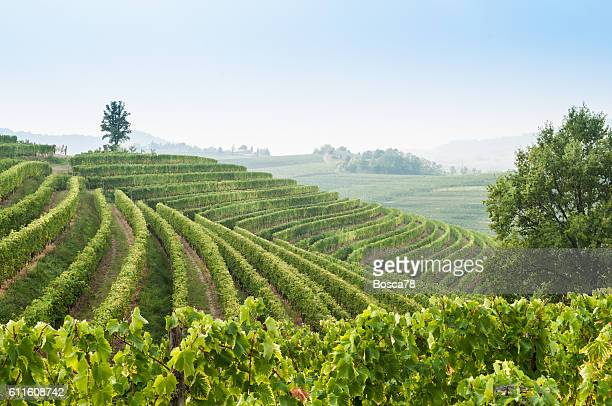 nice vineyard landscape at north of italy - udine stock photos and pictures