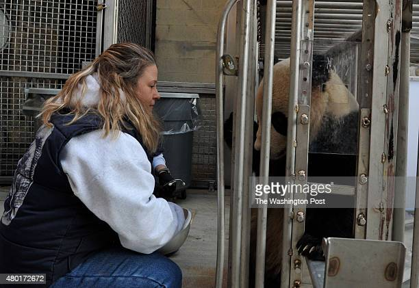 Nicole Meese gives treats to Tai Shan before he gets a medical check up at the National Zoo on January 27 in Washington DC TaiShan born to adult...