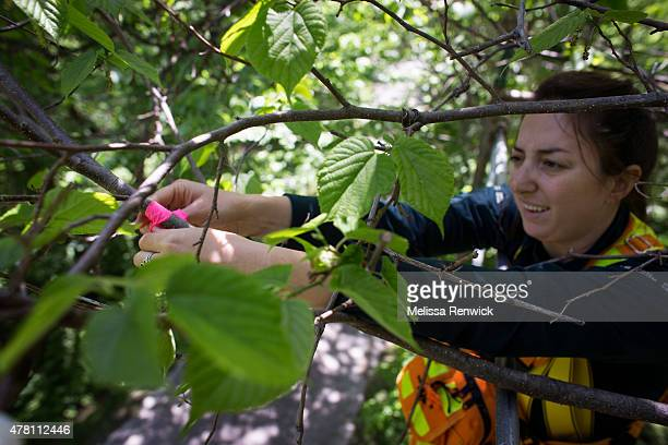 Nicole Paleczny ties a pink ribbon to a branch on a Red Mulberry tree in order to identify the date the tree's identification number and the female...