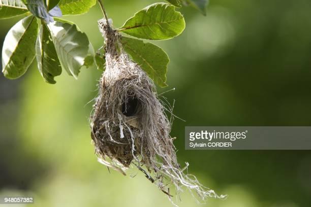 Nid de Souimanga amethyste Marais de Bangweuleu en Zambie nest of Amethyst Sunbird Chalcomitra amethystina