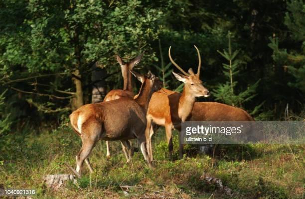 """Niederlande, Hooge Veluwe: Charakter eines Vorbildes fuer die Behandlung der Natur hat der niederlaendische Nationalpark """"Hooge Veluwe"""" hier am ...."""