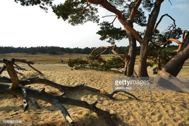 Charakter eines Vorbildes fuer die Behandlung der Natur hat der niederlaendische Nationalpark 'Hooge Veluwe' hier am