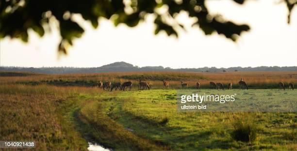 Charakter eines Vorbildes fuer die Behandlung der Natur hat der niederlaendische Nationalpark 'Hooge Veluwe' hier am Wildtiere Rhe und Hirsche