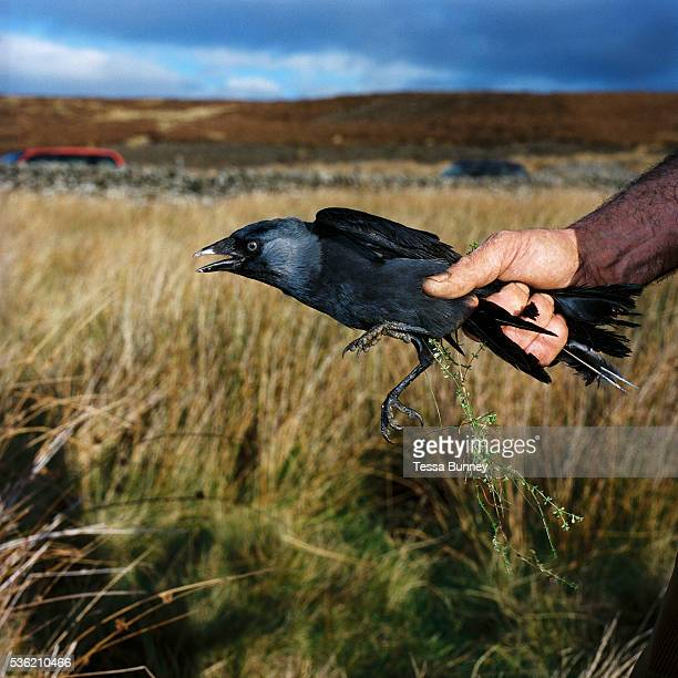 Niel Pearson gamekeeper holding a jackdaw which he has caught in a larsen trap in Upper Nidderdale North Yorkshire UK One of the gamekeepers main...
