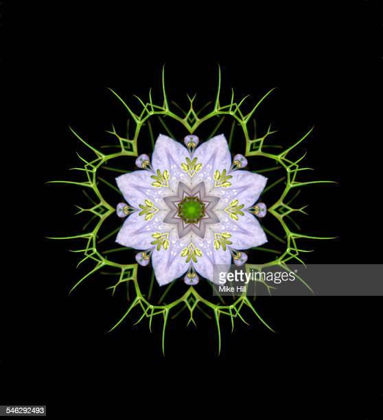 Nigella flower mandala pattern
