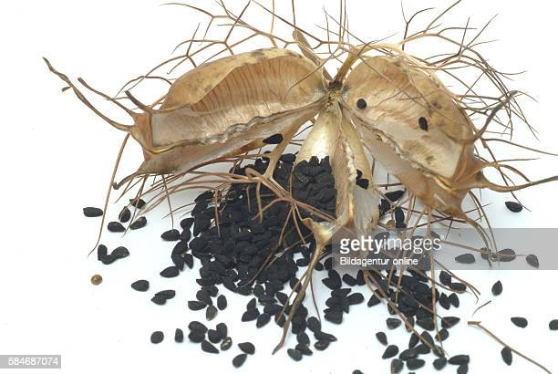 Nigella sativa blackcaraway also known as nigella or kalonji often called black cumin Medicinal plant food and spice herb