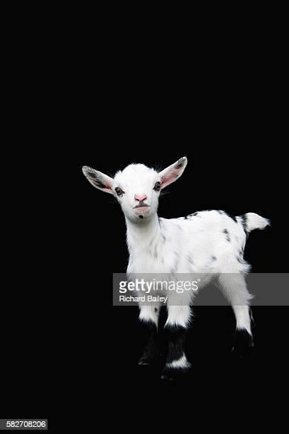 Nigerian Dwarf Kid Goat