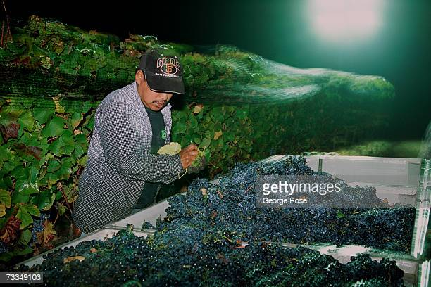 A night harvest worker pulls leaves from a bin filled with Pinot Noir grapes before they head to the winery for crushing in this 2006 Russian River...