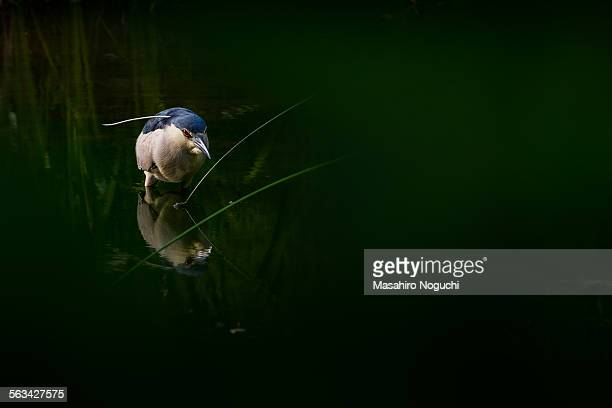 A night heron in a pond