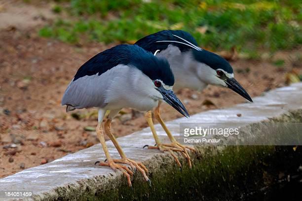 Night Herons (Nycticorax nycticorax)