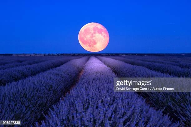 Night scene with moon in lavender field of Brihuega, Guadalajara, Castilla La Mancha, Spain