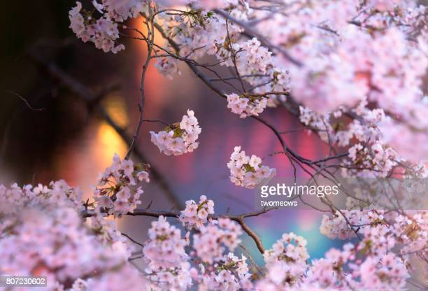 Night time illuminated cherry blossoms.