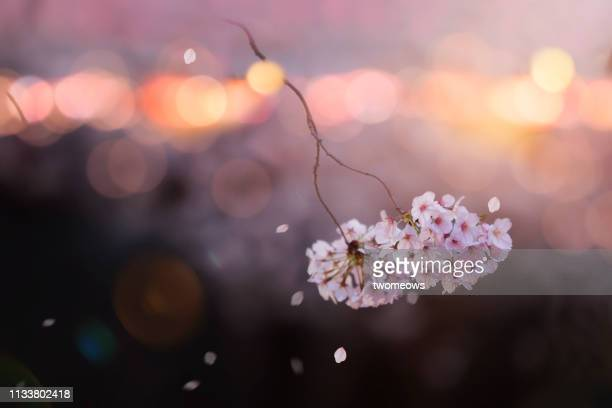 night view of blooming cherry blossoms on illuminated background. - cherry blossom in full bloom in tokyo stock pictures, royalty-free photos & images