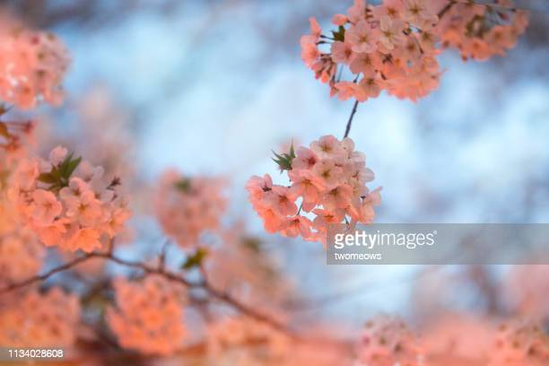 night view of blooming cherry blossoms on illuminated background. - soft focus stock pictures, royalty-free photos & images
