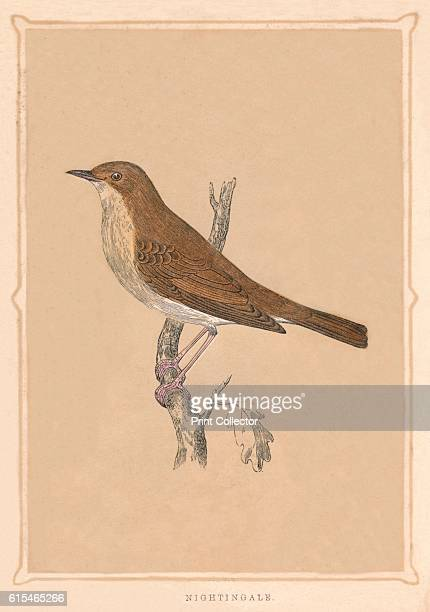 Nightingale' c1850 From Bible Natural History containing a Description of Quadrupeds Birds Trees Plants Insects Etc Mentioned in the Holy Scriptures...