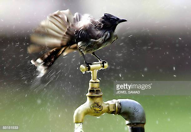 A nightingale cools off from a tap water in Islamabad 26 June 2005 The blistering heatwave resulting the highest temperature in more than a decade in...
