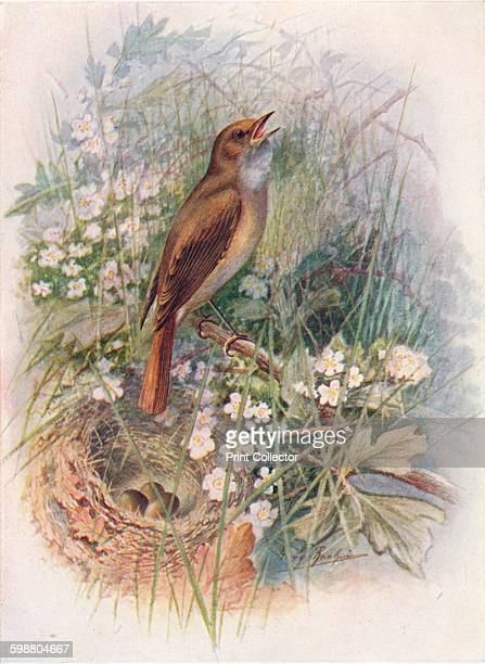Nightingale Daulias luscinia circa 1910 From Britains Birds and Their Nests by A Landsborough Thomson [The Waverley Book Company Limited W R Chambers...