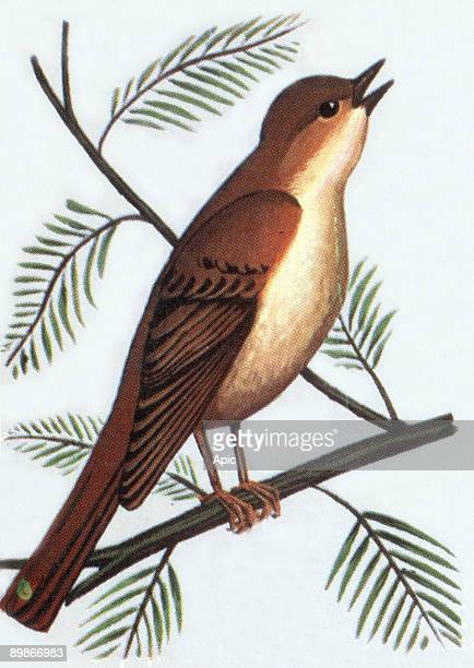 Nightingale illustration 1963