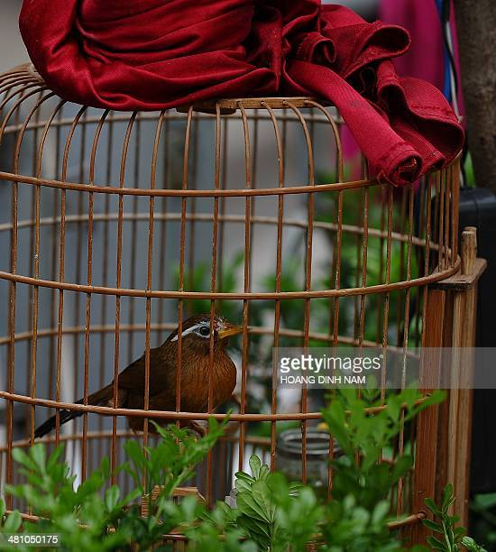 A nightingale is displayed in a cage for sale at an openair pet birds shop in a public park in downtown Hanoi on March 28 2014 Raising pet birds for...
