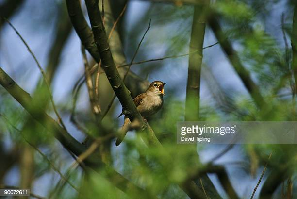 nightingale luscinia megarhynchos in song, may kent