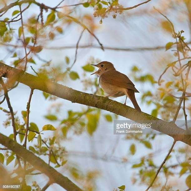 nightingale -luscinia megarhynchos-, singing, thuringia, germany - nightingale bird stock pictures, royalty-free photos & images